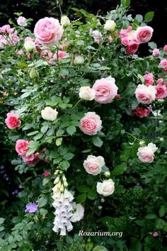 Eden Climbing Rose-Nothing is as lovely as English roses and foxglove!