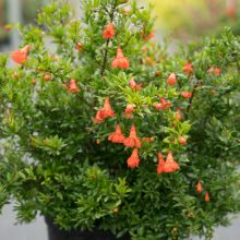 Best Patio Plant for Containers Peppy Le Pom Pomegranate Punica Container Plants, Container Gardening, Butterfly Garden Plants, Dwarf Shrubs, Plant Magic, Patio Plants, Orange Flowers, Exterior Doors, Small Gardens