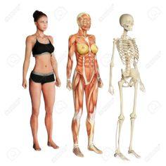 Illustration Femme De Peau, Les Muscles Et Le Squelette Isolé Sur Un Fond Blanc Homme Aussi La Version Disponible Banque D'Images, Photos, Illustrations Libre De Droits. Pic 27372843.