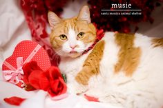 A Santa Monica Animal Shelter shorthair cat named Musie on Valentine's Day Photo Shoot; a great way to promote pet adoption!