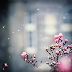 雪の中でピンクのバラ