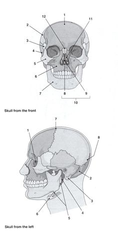 unlabed skull inferior view | Anatomy Practice Worksheets ...