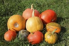 Common Pumpkin Varieties: Best Pumpkin Varieties And Types For Growing - Pumpkins are surprisingly easy to grow. Often, the hardest part of growing pumpkins is deciding which type of pumpkin is best suited for your particular needs and available growing space. Learn about different kinds of pumpkins in this article.