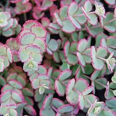 """Five Sedum """"Sieboldii"""" - 5 Live fully rooted Perennial Plants Common Name Stonecrop Whirls of succulent blue-green leaves edged in plum color. Terminal clusters of star-shaped rose-pink flowers begin in autumn. Perennial Plants, Ground Cover, Plants, Garden Plants, Container Plants, Succulents, Perennials, Sedum, Sedum Garden"""