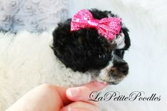 Teacup, Tiny Toy, Toy poodles for sale in Texas