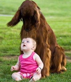 """Hi- Little One""! Irish Setters are wonderful with little children, I know, I had Meghan and one child was riding her like a horse one was pulling her tail and one was pulling a bone from her mouth and she behaved herself."