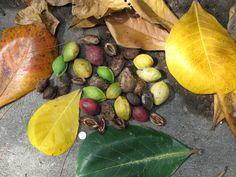 Le guerté toubab ou noix de badame, appelée aussi amande tropicale. On déguste d'abord la chair verte ou jaunâtre puis on casse la coque, ainsi la noix nous offre toute sa fraîcheur.
