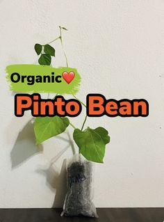 Growing Plants Indoors, Growing Vegetables, Black Bean Plant, Okra Plant, Buy Plants Online, Pinto Beans, Grow Your Own Food, Black Eyed Peas, Live Plants
