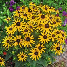 Little Goldstar Rudbeckia fulgida var sullivantii Black-Eyed Susan Plant Zone Porch Plants, Garden Plants, Flowering Plants, House Plants, Plant Zones, Professional Landscaping, Driveway Landscaping, Little Flowers, Sun Flowers