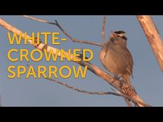 The White-crowned Sparrow can be seen in urban areas in parts of the Western U.S. In the East, it's more often associated with rural areas.