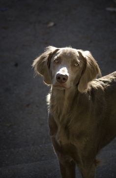 long haired Weimaraner...I never knew...