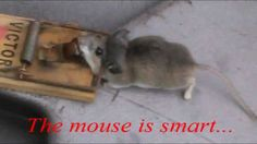 Use the Ultimate Bait to catch mice! a toosie roll