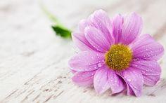 Pink Gerbera On Table Wallpapers - - 313328 Best Flower Wallpaper, Beautiful Flowers Wallpapers, Perfect Wallpaper, Pink Wallpaper, Nature Wallpaper, Hd Wallpapers For Mobile, Live Wallpapers, Phone Wallpapers, Mobile Wallpaper