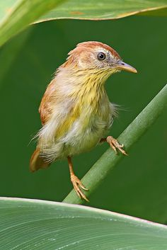 The Pin-striped Tit-Babbler (Mixornis gularis), also known as the…