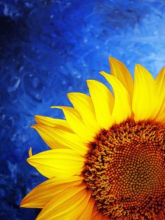 Vivid Sunflower (by a m photography) Sunflower Garden, Sunflower Art, Yellow Sunflower, Mellow Yellow, Blue Yellow, Sunflowers And Daisies, Sun Flowers, Sunflower Pictures, Sunflower Wallpaper