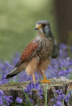 Kestral.Found in a wide variety of haunts including open or lightly wooded farmland, moors, wetlands and urban areas.It hangs at a height of 20 or 30 ft poised in the air with quivering wings and widespread depressed tail searching the ground below. The kestrel's main prey is small mammals, especially voles, and small birds.No real nest is made by the adaptable kestrel. It accept sites in church towers, old windmills and hollow trees.