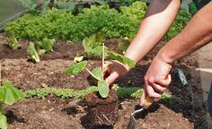Gurken ins Gewächshaus pflanzen