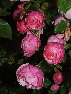 'Bow Bells'   Shrub, David Austin English Rose. Austin, 1991   Flickr - © ceztom