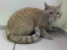 SAFE! TO BE DESTROYED 4/9/14 Brooklyn Center  My name is SAMMY. My Animal ID # is A0995126. I am a male org tabby and white domestic sh mix. The shelter thinks I am about 4 YEARS old.  I came in as a STRAY on 03/29/2014  https://www.facebook.com/nycurgentcats/photos/pb.220724831278845.-2207520000.1397046416./770158759668780/?type=3&src=https%3A%2F%2Fscontent-b.xx.fbcdn.net%2Fhphotos-frc3%2Ft1.0-9%2F1534326_770158759668780_8191768698526433667_n.jpg&size=640%2C480&fbid=770158759668780