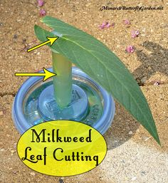 butterfly garden One milkweed leaf can sustain a baby monarch caterpillar for up to five days if you use leaf cuttings. Heres how to make it work and stop wasting milkweed. Butterfly Cage, Butterfly Garden Plants, Butterfly Feeder, Monarch Butterfly Habitat, Flowers Garden, Hydroponic Gardening, Hydroponics, Container Gardening, Organic Gardening