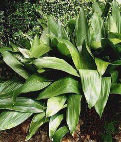 Aspidistra - Famiglia liliaceae - Come curare e coltivare le vostre Aspidistre