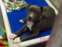 A4700069 I am a 2 month old female gray/white pit bull mix. I came to the shelter as a stray on April 23. available 4/28/14 Baldwin Park shelter Open for Adoptions 7 days a Week 4275 Elton Street, Baldwin Park, California 91706 Phone 626 430 2378  https://www.facebook.com/photo.php?fbid=770273949651111&set=a.705235432821630&type=3&theater