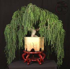 Acacia Howittii: SAUCE LLORON... BALANCE PERFECTO. #bonsai trees