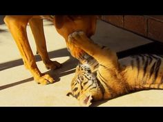 Tiger Cubs Playing With Dogs - Tigers About The House - BBC - YouTube
