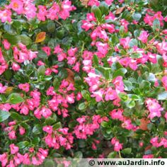 Escallonia. Good evergreen with pink flowers, no fragrance.