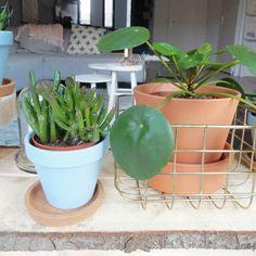 Mijn Pilea begint het eindelijk weer goed te doen nu 'ie een plekje voor het raam heeft gekregen. Bij Praxis Tuincentrum zijn de pannenkoekplanten deze week te koop voor slechts 599. Bedankt voor de tip