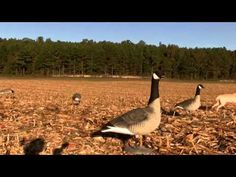 goose hunting for beginners
