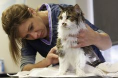 Different cat coat types require different grooming tools and techniques. (comprehensive and useful article)