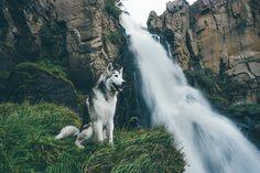 Loki chien-loup 2