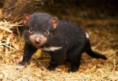 SAVING THE TASSIE DEVIL - Bonorong Wildlife Sanctuary - Tasmania - Empowering Wildlife Experiences