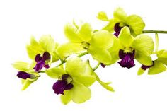 The Orchid Flower, Its Meanings and Symbolism Orchids are the largest family of blooming flowers with over species and over varieties. But, not all orchids are tropical Green Orchid, Orchid Color, Flower Meanings, Color Meanings, Moth Orchid, Orchid Plants, Purple Orchids, White Orchids, Exotic Flowers