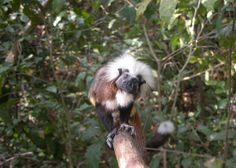 Now that is a photo worth a caption! (Tamara, Mom of 22 among Cotton-Top Tamarins celebrated this month at Disney's Animal Kingdom)