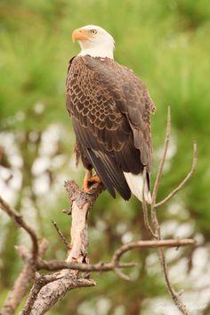 Bald Eagle - Merritt Island NWR, Florida by Jarrett Wyant**