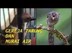 Masteran Burung Cucak Jenggot Mix Gereja Tarung Dan Murai Air Burung Gereja Youtube