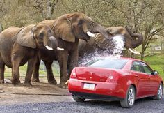 Elephant car wash at the Wildlife Safari in Oregon.. the idea is not to get the cleanest car but to have fun watching them have fun! Cant wait!!! :)