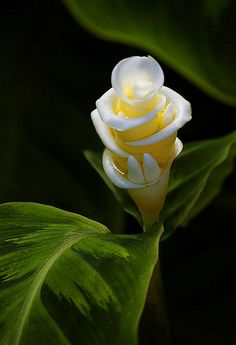 Ginger Flower - look closely at the bottom of flower it looks like 2 teeth coming up from beneath the bud!