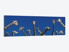 Curious Giraffes (concept) Kenya Africa by Panoramic Images 1-piece Canvas Art