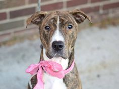 TO BE DESTROYED 01/22/15- Brooklyn Center -P My name is LADY. My Animal ID # is A1022960. *** DOH HOLD RELEASED FOR RESCUE ONLY *** I am a female br brindle and white germ shepherd mix. The shelter thinks I am about 2 YEARS I came in the shelter as a STRAY on 12/12/2014 from NY 11106, owner surrender reason stated was STRAY.