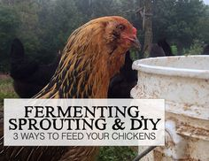 Fermenting, Sprouting & DIY: 3 Ways to Feed Your Chickens