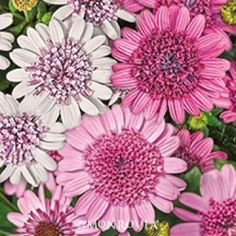3D African Daisy - This dazzling two-tone beauty is tough and drought tolerant with full double flowers. A great choice for containers, raised beds, or hanging baskets. Via Monrovia.com