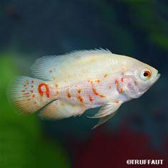 Poisson Astronotus Ocellatus Albinos : GM (35cm)