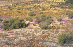 SUCCULENT KAROO | You, Me, & Biodiversity Desert Environment, Biomes, West Coast, Succulents, Africa, Biology, Plants, Painting, Painting Art