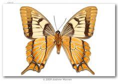 Esperanza Swallowtail