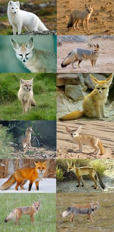 Vulpes is a genus of the Canidae. The members of this genus are colloquially referred to as true foxes. Within Vulpes there are twelve separate and distinct extant species and four fossil species. Beginning from the top and going left to right: Arctic fox, Bengal fox, Blanford's fox, Cape fox, Corsac fox, Fennec fox, Kit fox, Pale fox, Red fox (includes the Silver fox), Ruppel's fox, Swift fox, Tibetan Sand fox.