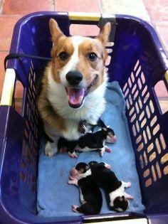 Corgi Mommy - Look, all tri-colors!