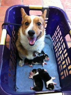 Corgi Mommy - Look, all tri-colors!